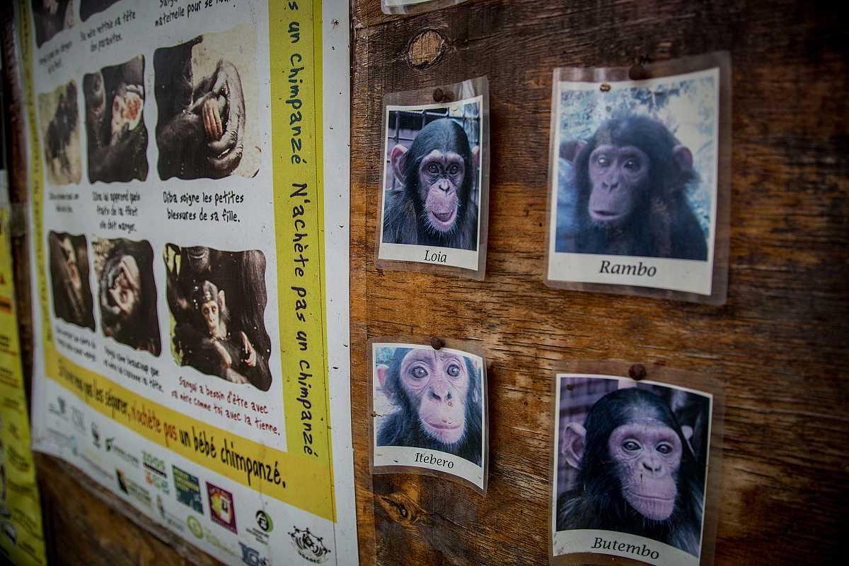 Tablón de anuncios en el centro de conservación de Lwiro, mostrando un primer plano de cuatro chimpancés recogidos en el centro: Loia, Rambo, Itebero y Butembo.