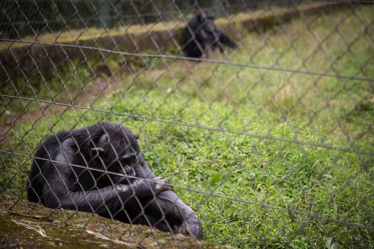Un chimpancé detrás de una valla, descansa sentado en la hierba en actitud pasiva.