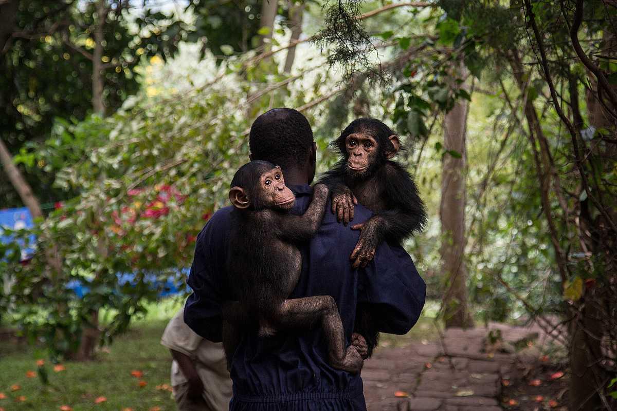 Un empleado de Lwiro, de espaldas, lleva en brazos a dos chimpancés del centro.