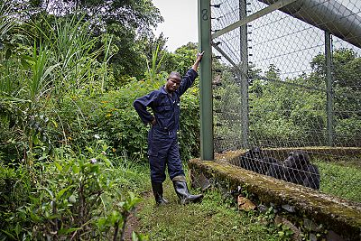 Jean de Dieu, empleado de Lwiro, da unos frutos a un grupo de chimpancés a través de una alambrada.