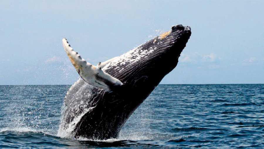La ballena jorobada realiza largas rutas de migración desde los polos (norte y sur) hasta el ecuador.
