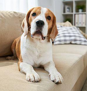Un beagle descansa en el sofá de una casa.