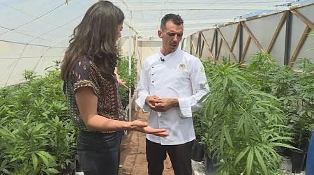 Dentro de una plantación de marihuana