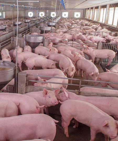 La actualcría intensiva de ganado tiene un fuerte impacto ambiental.