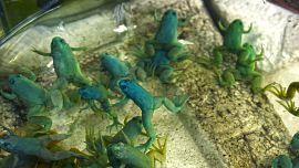 Ejemplares de Xenopus laevis, la especie de rana africana utilizada para crear los robots.