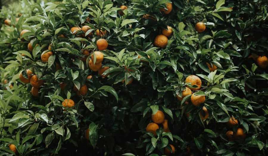 Cómo plantar un árbol frutal