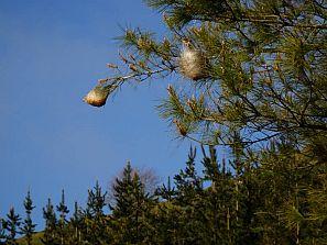 Imagen de nidos de la oruga procesionaria del pino.