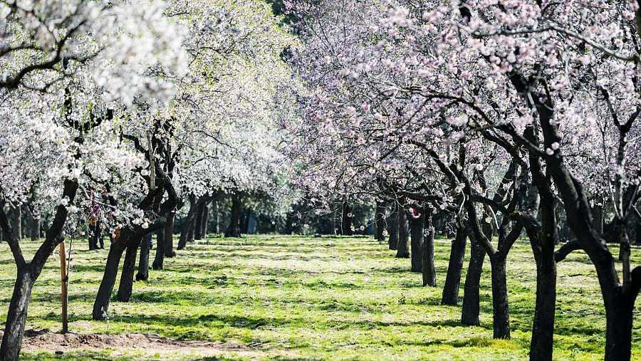 Almendros de la Quinta de los Molinos, Madrid
