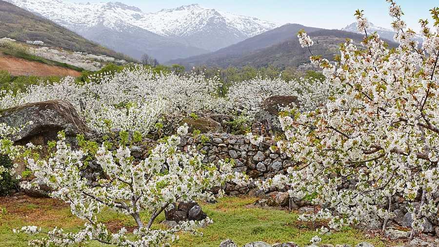 Cerezos del Valle del Jerte, Extremadura