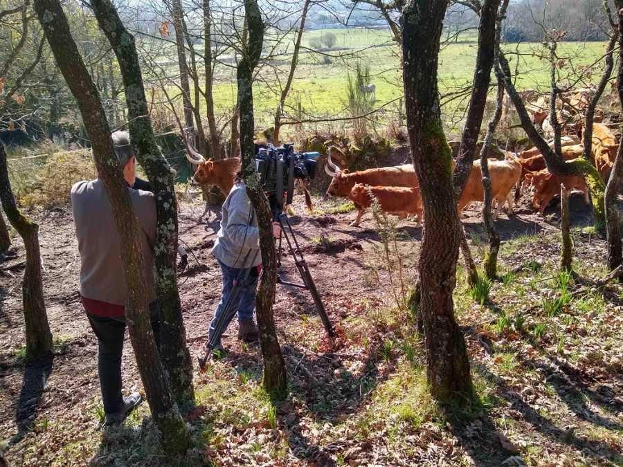 Vacas cachenas, raza bobina gallega