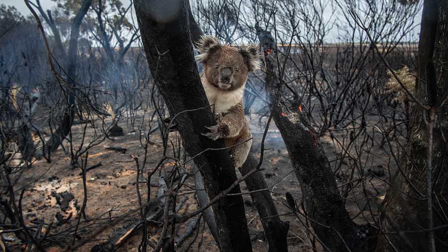 Un koala afectado por la oleada de incendios que ha asolado recientemente a Australia.