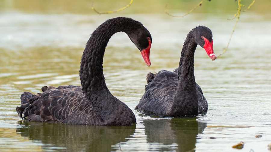 Aquí la Tierra - Pareja de cisnes negros nadando