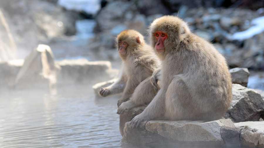 Aquí la Tierra - Pareja de macacos japoneses