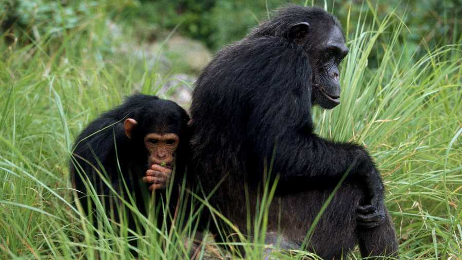 Chimpancés en la selva africana