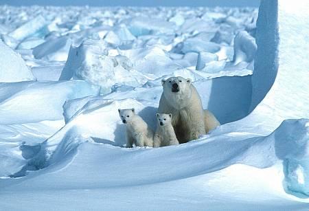 Un oso polar con sus cachorros en el Mar de Hielo, al noreste de la Bahía de Prudhoe, Alaska