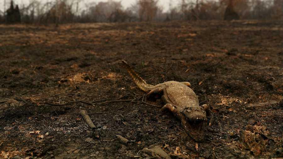 Imagen de un caimán muerto por los incendios.