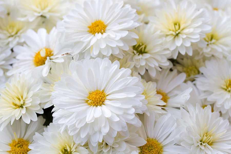 Plantas de interior: los crisantemos