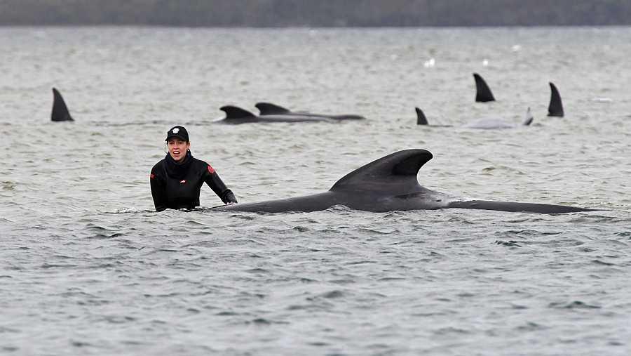 Los equipos de rescate trabajan para salvar una manada de ballenas varadas en un banco de arena en el puerto de Macquarie