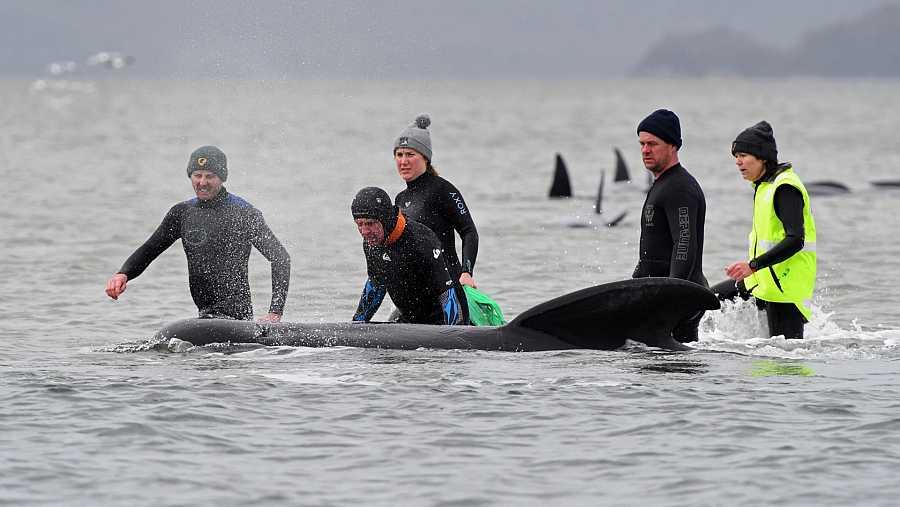 Dos grandes grupos de ballenas piloto de aleta larga quedaron atrapadas en bancos de arena en el puerto de Macquarie