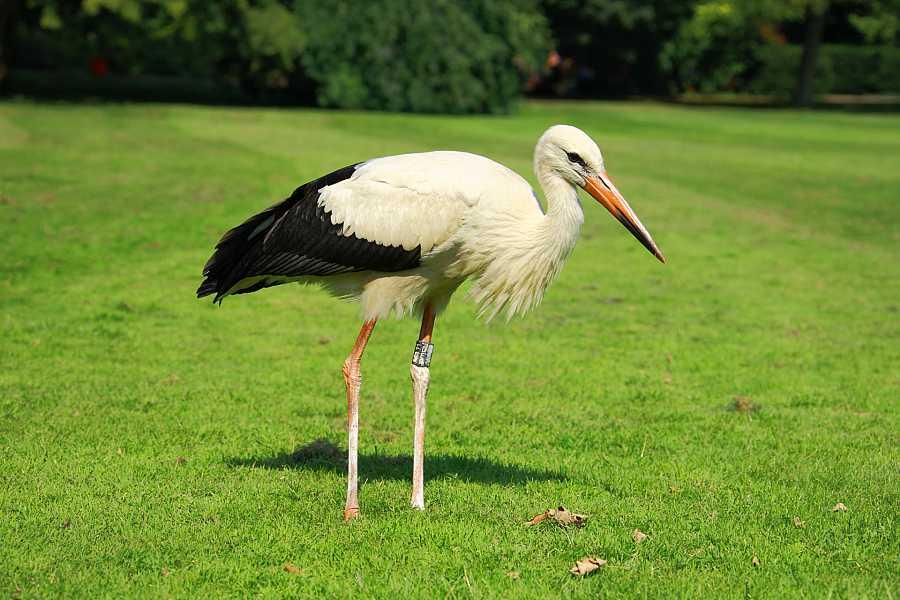 Cigüeña: ave migratoria de grandes alas