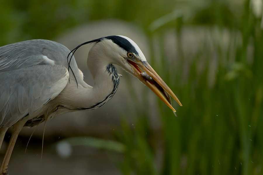 Grulla común, ave migratoria