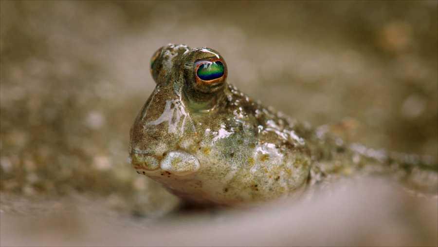 El pez saltarín del fango es capaz de vivir fuera del agua