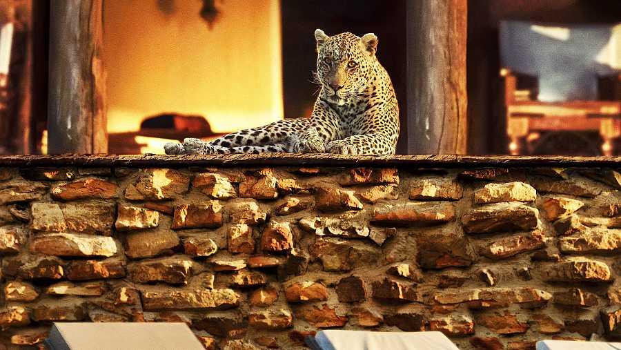 Un leopardo, cazando de día en el interior de un resort de lujo en Mpumalanga, Sudáfrica.