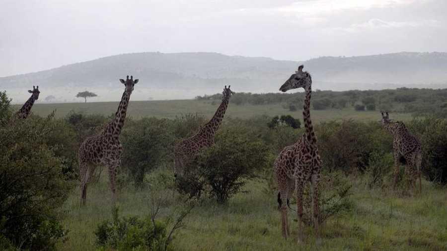 Jirafas en su hábitat natural, Kenia