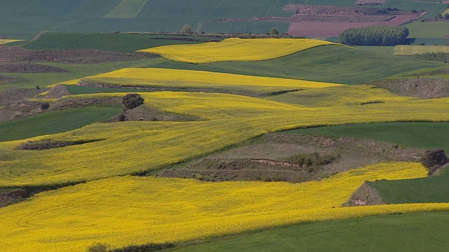 Campo de colza en plena floración