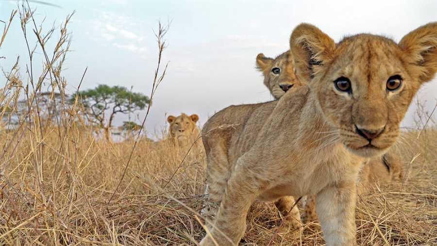 Leones mirando a la cámara, en Tanzania