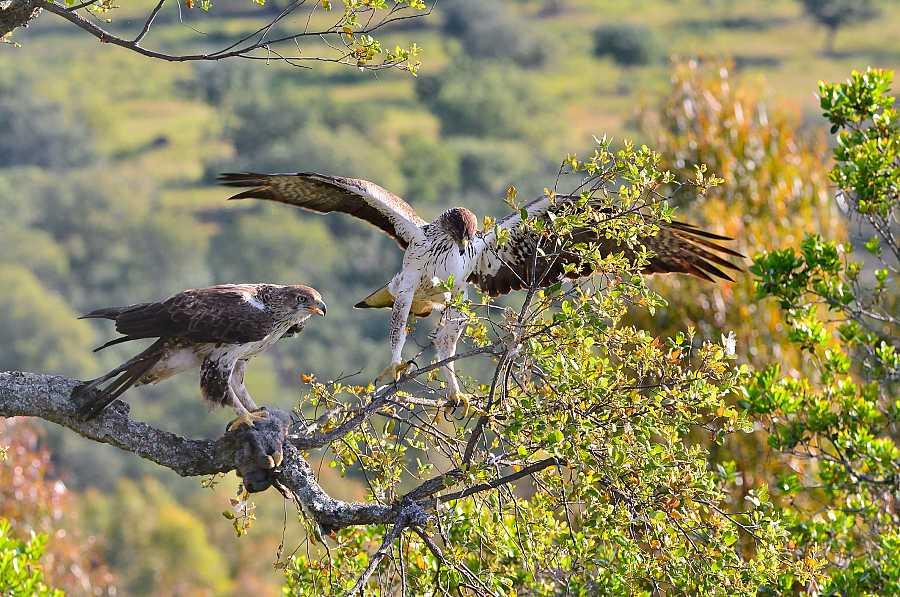 Pareja de águilas Bonelli