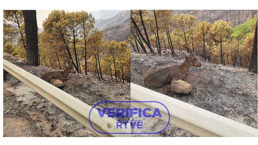 Dos imágenes de la cabra montesa en Sierra Bermeja con el sello azul de VerificaRTVE