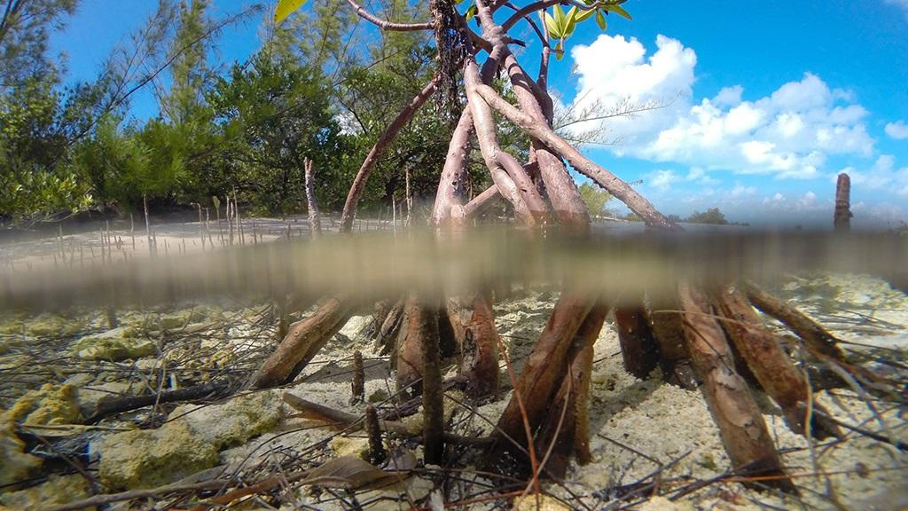 Bahamas Azules: Manglares
