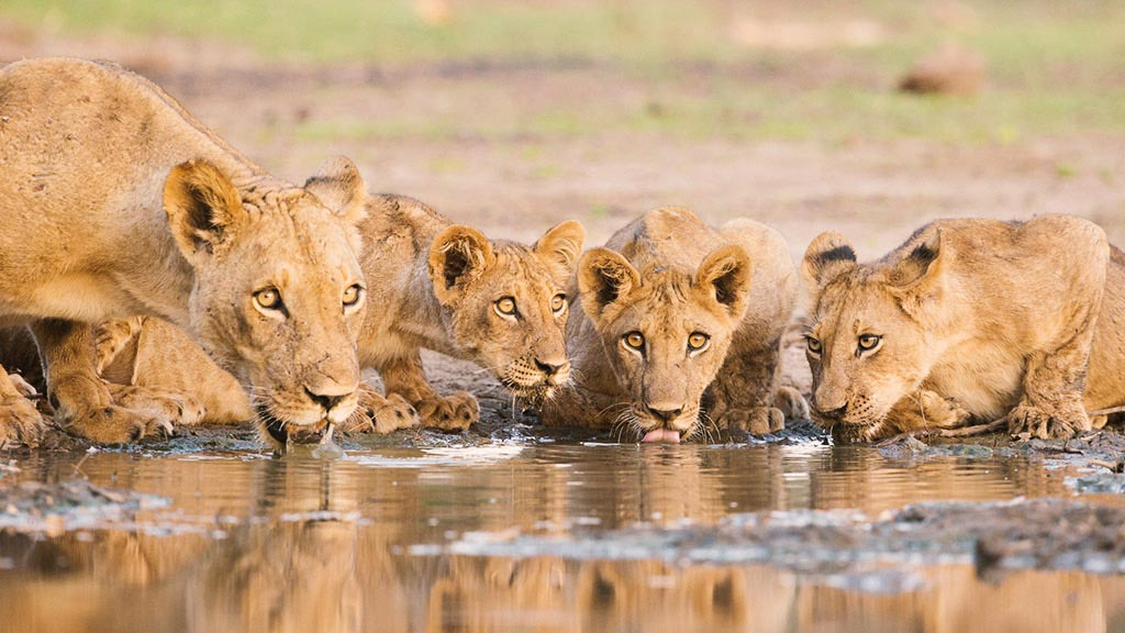 Los leones del lago