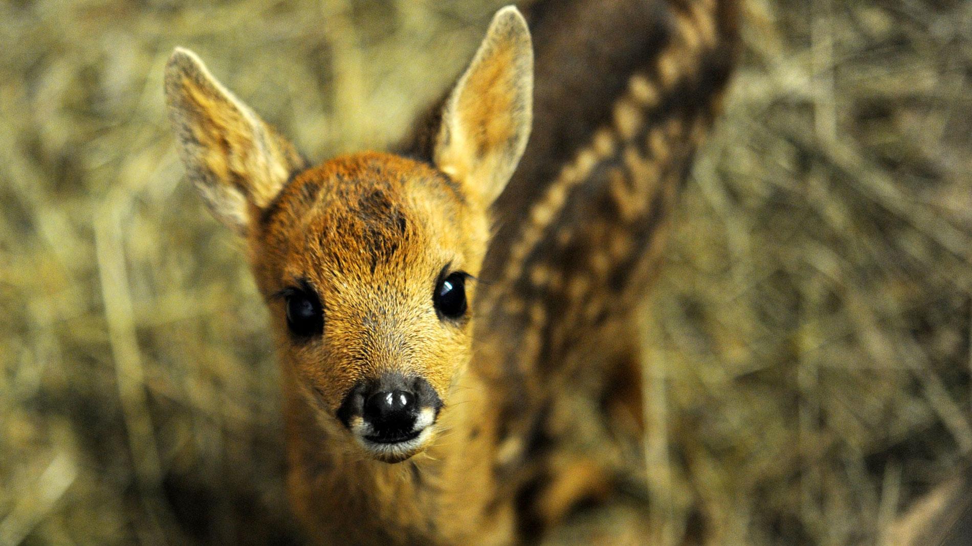Un juez estadounidense condena a un cazador furtivo a ver la película 'Bambi' al menos una vez al mes