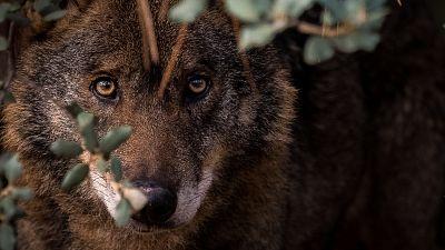 El lobo ibérico: una especie ¿protegida?