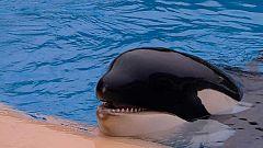 Nuevos estudios que miden la capacidad auditiva de las orcas