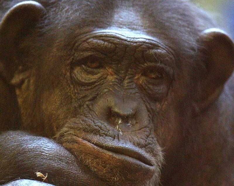 El Congreso aprueba que los  grandes simios tengan derechos humanos