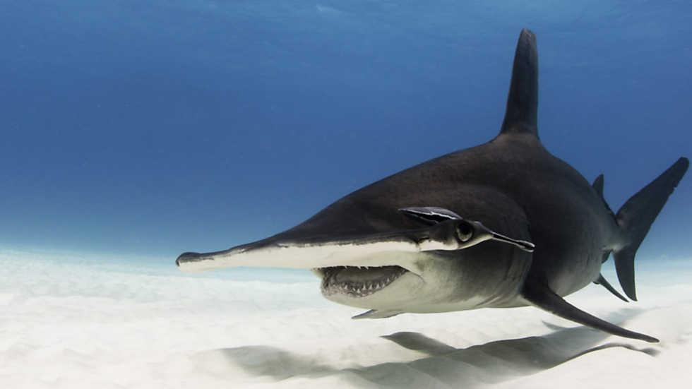 Grandes documentales - La autopista del tiburón martillo - RTVE.es