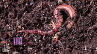 CIENCIAS NATURALES - Los gusanos o anélidos