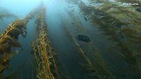 CIENCIAS NATURALES - El kelp, un ejemplo de alga parda