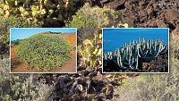 CIENCIAS NATURALES - El matorral costero de las islas Canarias