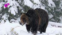 ¿Sabes por qué los osos hibernan?
