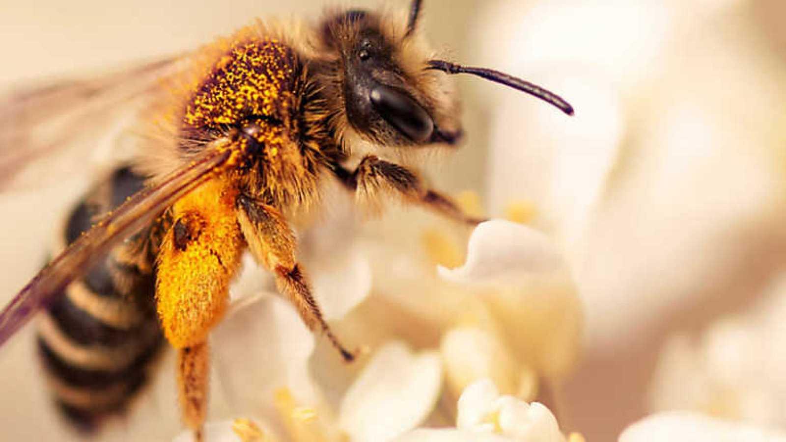 El escarabajo verde - El declive de las abejas - ver ahora