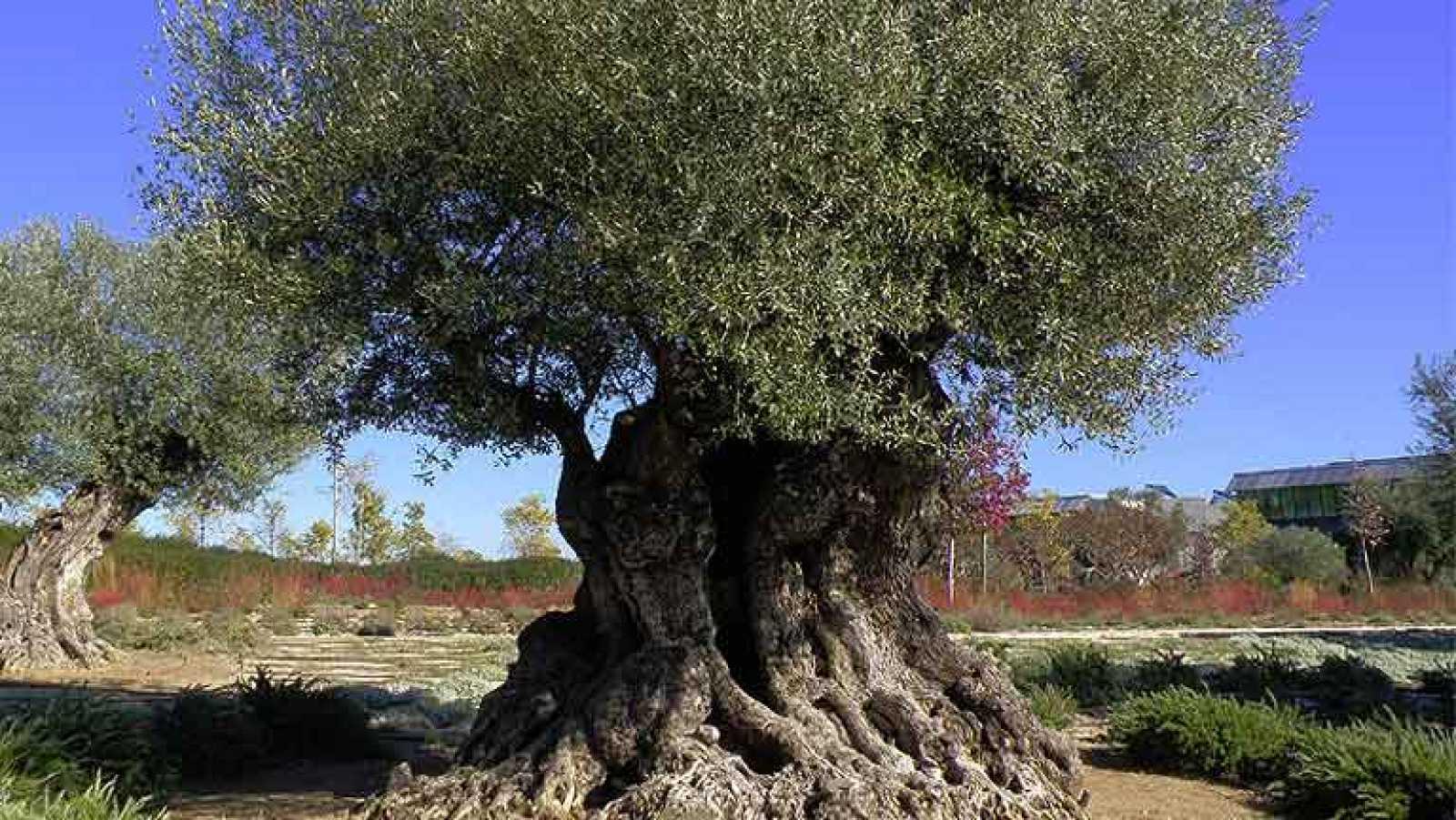 Vídeo sobre el estudio de lectura del ADN del olivo