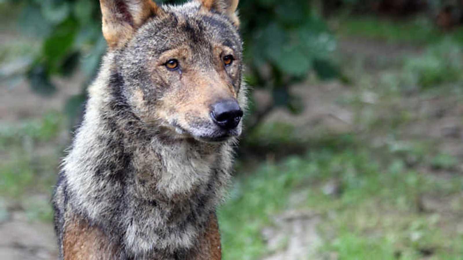 Crónicas - De lobos y hombres - Ver ahora