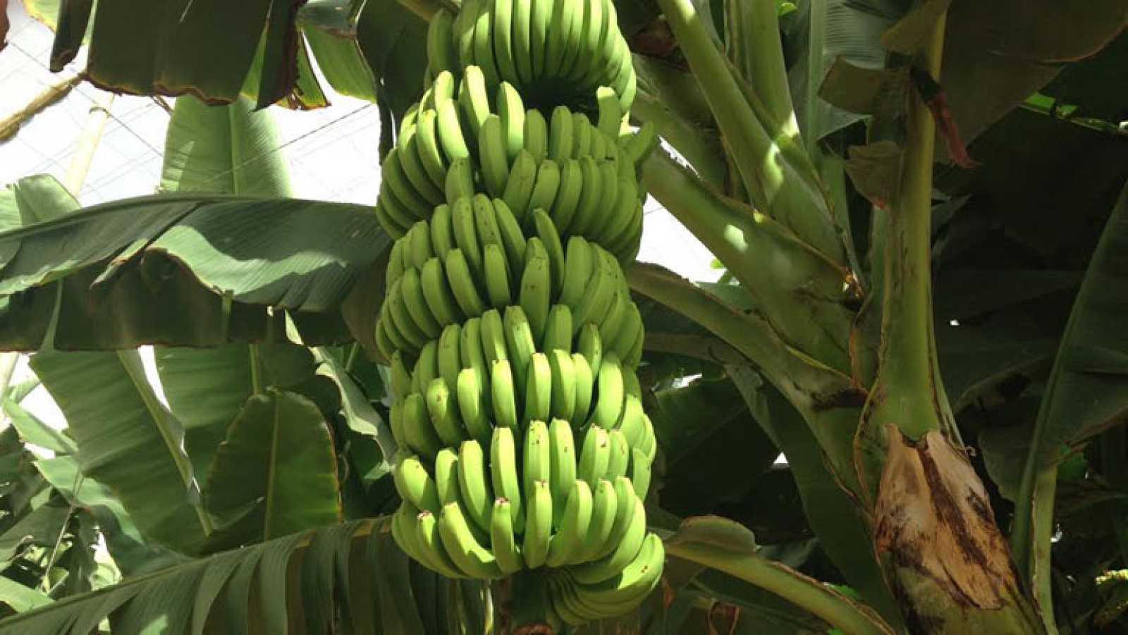 Al rico plátano canario