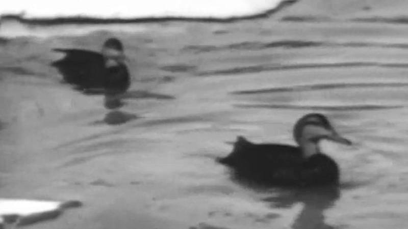 Vida salvaje - Fábrica de patos