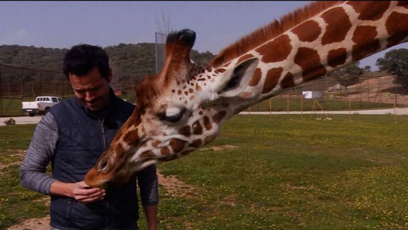 Lo que no sabías de las jirafas