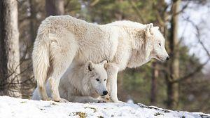 El Ártico más salvaje: La Tundra. El desierto de hielo